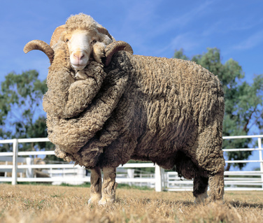 Stud Merino ram at at a farm in Australia.